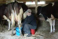 С дойкой коров Василий управляется в основном сам.