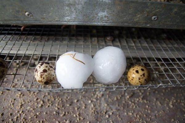 Градины были больше по размеру, чем перепелиные яйца, а иногда даже одного размера с куриными