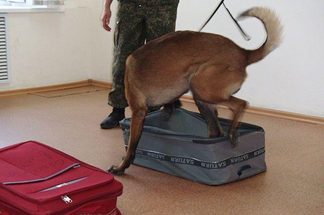 Собака ведет поиск наркотиков, опираясь на свое чутье и опыт