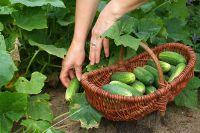 Плюсы и минусы консервированных овощей, Продукты и напитки, Кухня, Аргументы и Факты