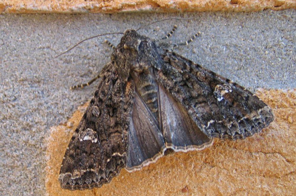 Совка капустная. Гусеницы этой бабочки повреждают многие растения из крестоцветных, особенно капусту, бобовые и сахарную свёклу.