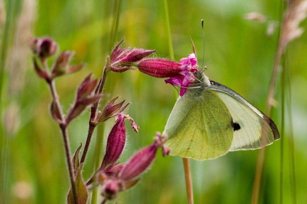 Капустная белянка. Бабочка сама по себе не опасна, а вот появляющиеся из отложенных яиц гусеницы могут нанести непоправимый урон урожаю.