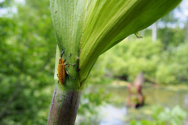Свекловичный долгоносик. Жук приносит сильный вред свеклё, объедая её молодые побеги и ботву, а его личинки объедают свекловичные корни.