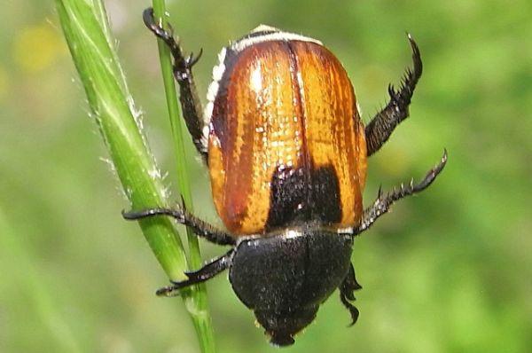 Хлебный жук-кузька. Опасный вредитель хлебных злаков, вызывающий массовые повреждения посевов.