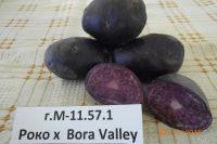 Фиолетовый картофель.