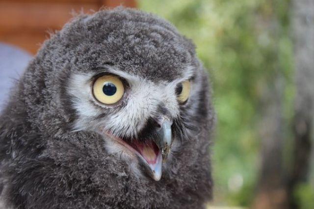 Совы всегда считались моногамными птицами.