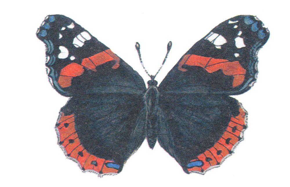 Адмирал – бабочка-путешественница добралась до Татарстана со Средиземноморского побережья. Часто встречается осенью, но гибнет по дороге на юг, в тепло. Она настолько красивая, что её часто отлавливают на сувениры. Этих дневных бабочек охраняют на Южном Урале, в Башкортостане, Марий Эл, Ростовской и Смоленской областях.