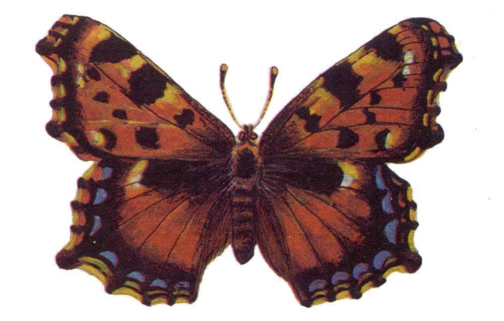 Многоцветница садовая – очень редкая бабочка, которую часто путают с шоколадницей. Охраняется в Башкортостане, Смоленской и Ростовской областях.
