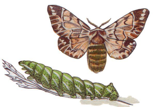 Самки и самцы берёзового шелкопряда имеют разную окраску. Самцы рыжие, а самки белые. Очень редки. Даже специалисты, которые постоянно бывают в экспедициях, видели их всего пару раз. Охраняется в Башкортостане и Ростовской области.
