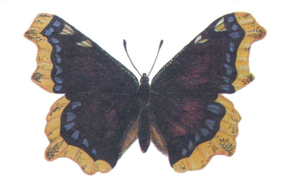 Траурница – бабочка из того же семейства, что и Адмирал. Встречается она в Татарстане всё реже, в основном там, где растёт берёза. Несмотря на то, что её охраняют в Башкортостане, Мордовии, Оренбургской, Смоленской и Ростовской областях, в нашей республике она редкой уже не считается.