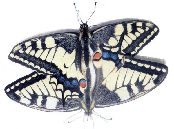 Махаон считают самой крупной и красивой бабочкой, обитающей в Татарстане. Численность этих насекомых в республике сокращается, так как их отлавливают на сувениры, а гусениц уничтожают садоводы. На фото эпизод выращивания бабочки в домашних условиях.