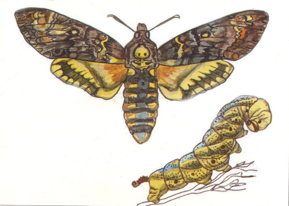 Мёртвая голова – самая крупная бабочка из семейства бражников. Насекомое прилетает в Татарстан из Северной Африки. Последний раз специалисты видели его в 2013 году на пасеке в Лаишевском районе. Занесён в Красную книгу РФ.