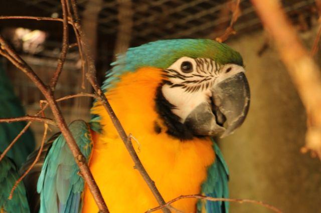 Впервые за 21 год на свет появился птенец сине-зелёного ары.