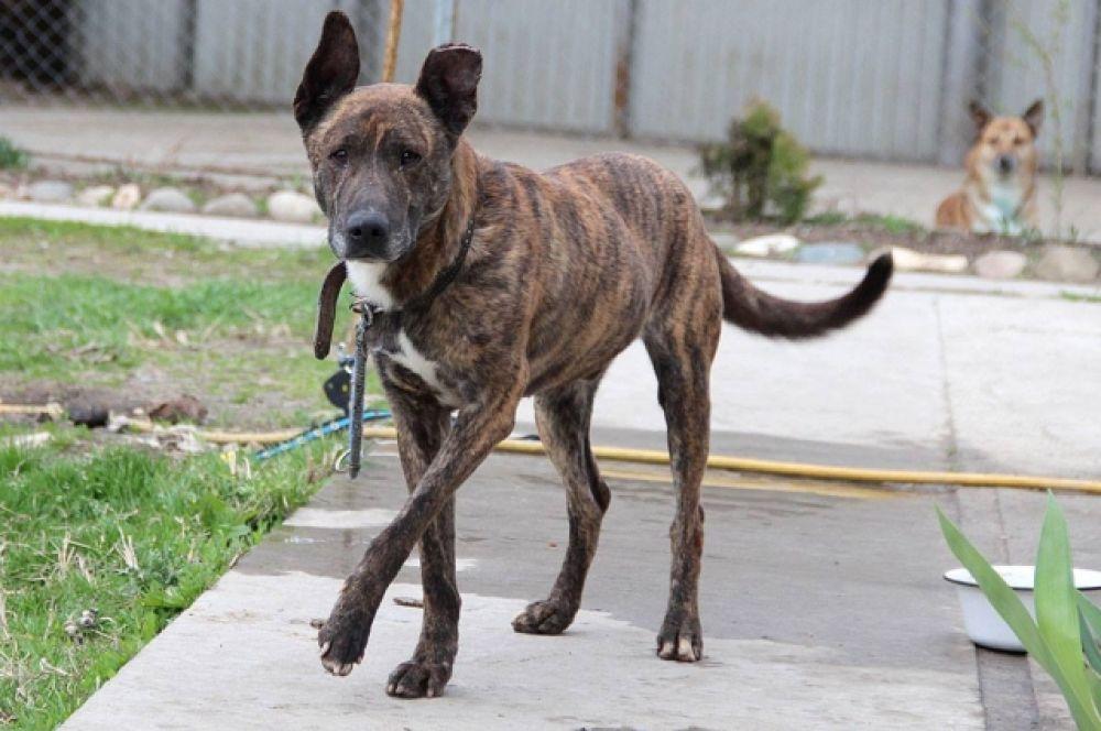 Максимус. Уже полтора года живет в приюте. В глазах Максимуса с каждым днем становится все больше грусти, ведь он очень любит людей, но другие собаки не часто позволяют робкому псу приблизиться к посетителям приюта.