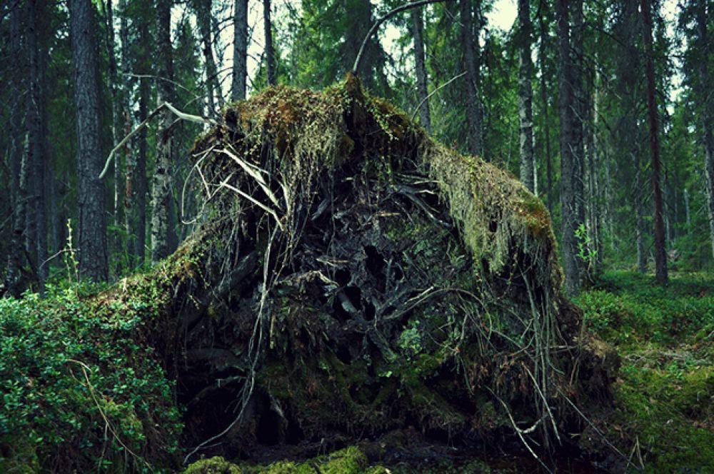 Лес Севера – сибирская тайга.