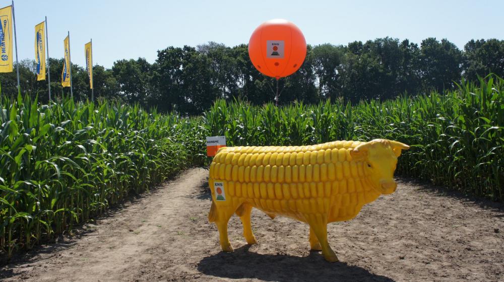 На территории лабиринта можно увидеть вот таких кукурузных быков