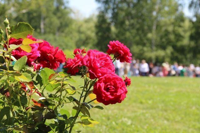 Розами можно не только любоваться, но и варить варенье из их лепестков.