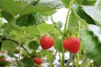 Чтобы в следующем году получить хороший урожай клубники, необходимо позаботиться об этом заранее.