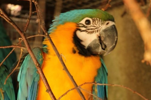 В Калининграде пытаются поймать улетевшего из зоопарка попугая ара.