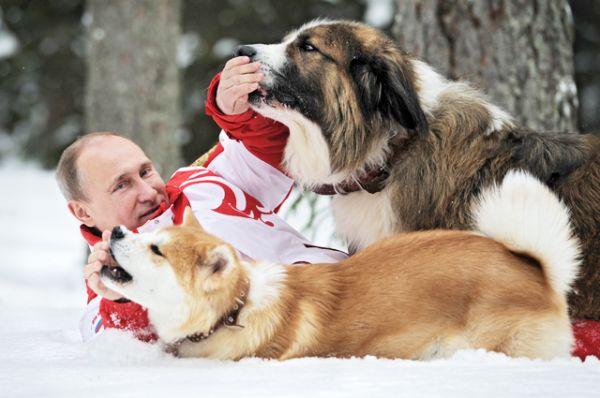 Еще один питомец Путина — японская собака акита-ину, дар от властей японской префектуры Акито за помощь оказанную региону Россией после сильного землетрясения и цунами. Имя для «подарка» выбрал сам президент – Юмэ (мечта). Акита-ину — символ верности и преданности в Японии. Именно этой породы был легендарный пес Хатико, известный всем по одноименному фильму. После смерти хозяина, он в течение нескольких лет ежедневно приходил встречать его на станцию.