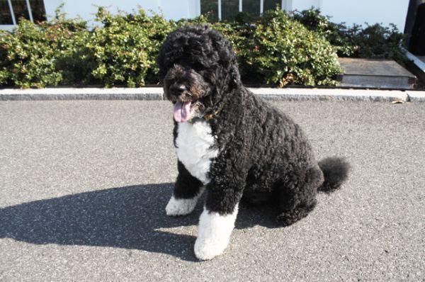Первая собака Американского Белого Дома — кобель Бо, породы португальская водяная собака. Его подарили президенту Бараку Обаме после того, как он озвучил желание семьи завести собаку. Выбирали между антиаллергенными породами, чтобы не навредить младшей дочери главы государства, которая страдает от аллергии. Португальская водяная собака — редкая порода, объявления о ее продаже почти не встречаются.