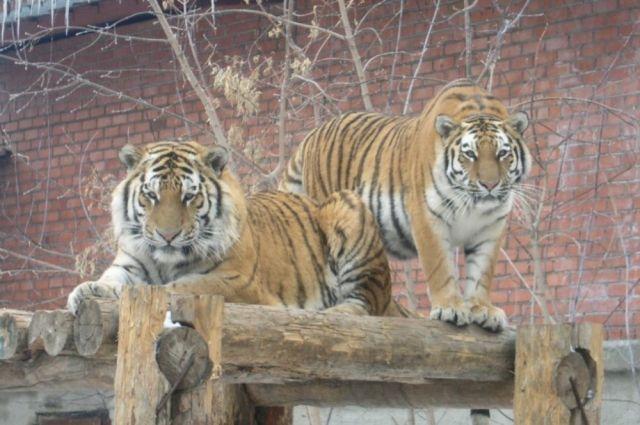 Тигры в зоопарке Челябинска.