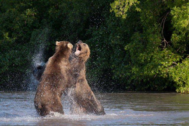 Медведи спасаются от жары в купальне.
