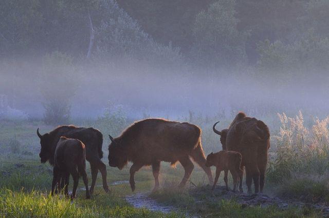 Сафари-парк с зубрами появится на границе Калининградской области и Польши.
