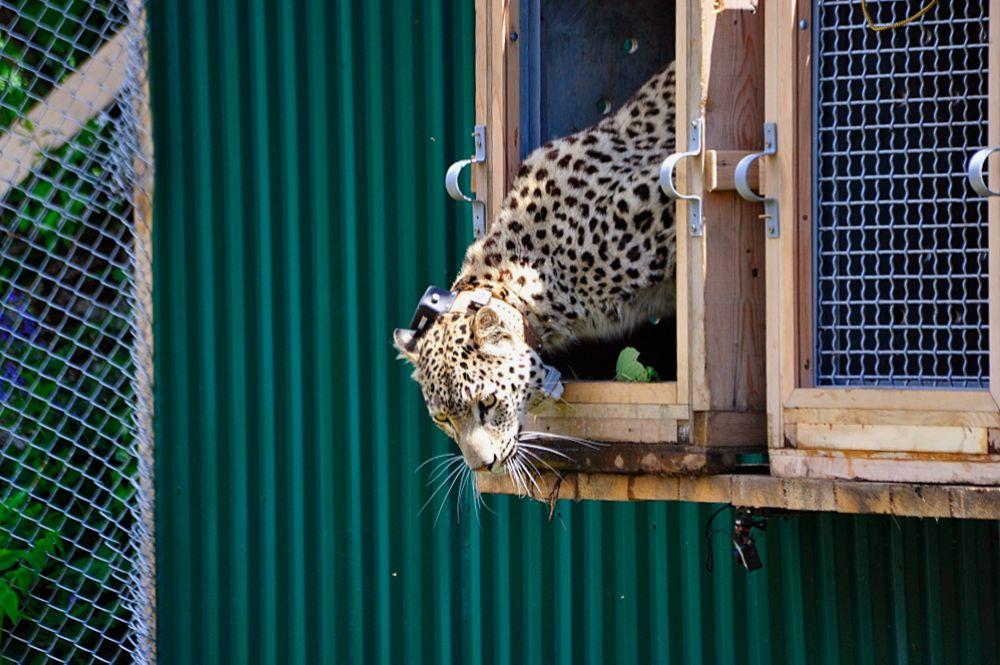 Выпуск леопарда из клетки.