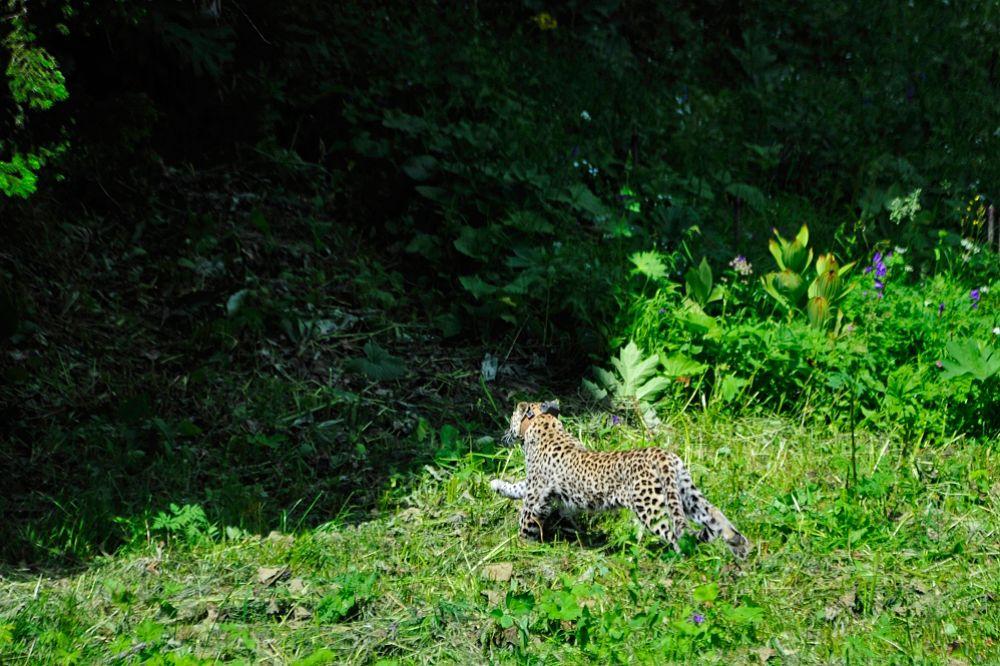 Все леопарды снабжены ошейниками.