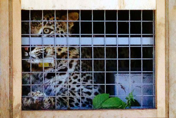 Переднеазиатский леопард в клетке.
