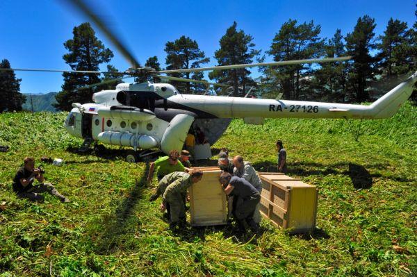 Клетки с самцами Килли и Ахуном и самкой Викторией вертолетом доставили к месту выпуска.