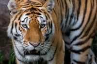 Имена для тигрят должны быть красивыми и звучными.