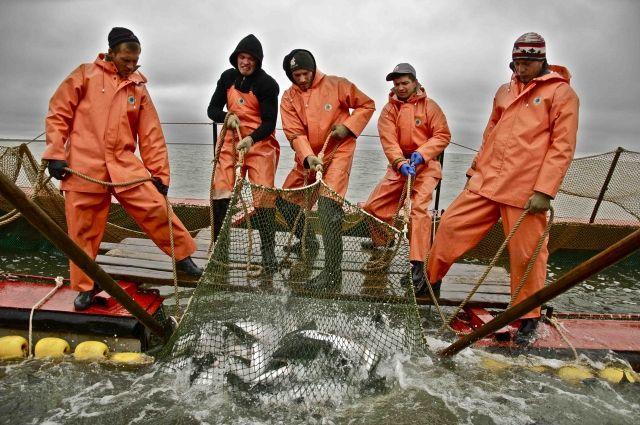 Вылов тихоокеанского лосося на далеком Востоке вырос на40%