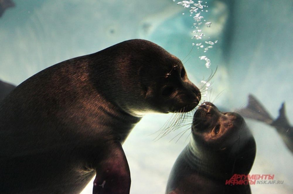 Байкальские нерпы - нежные, удивительные создания сразу покорившие сердца людей.