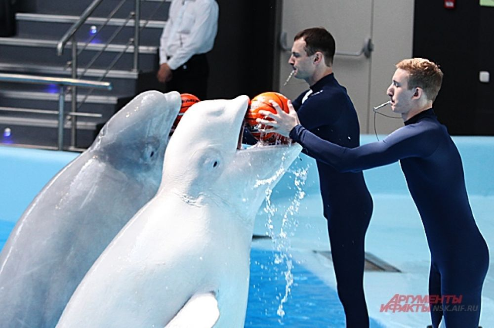Вопреки ничем не обоснованным слухам о том, что морские обитатели чувствуют себя плохо в подобного типа дельфинариях, касатки демонстрируют отличное настроение, играя с людьми.