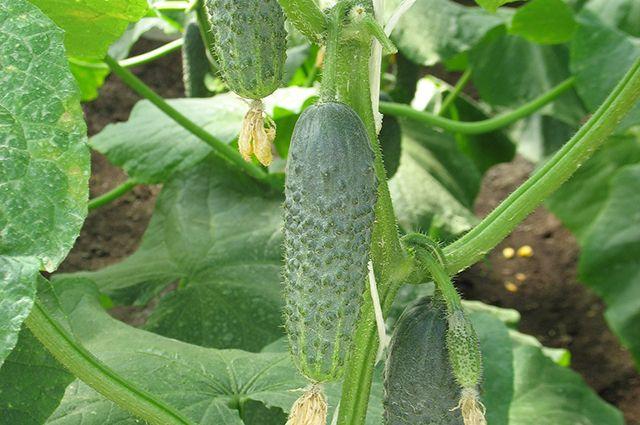 Всередине лета вПрикамье упали цены наогурцы ипомидоры