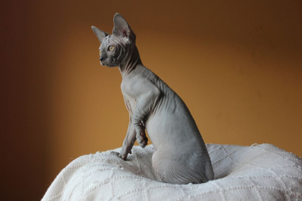Породы так называемых «голых кошек», таких как канадский сфинкс, донской сфинкс, петерболд, появляются в результате генетических мутаций, закреплённых заводчиками. По статистике, бесшёрстные котята появляются на свет один раз в несколько лет.