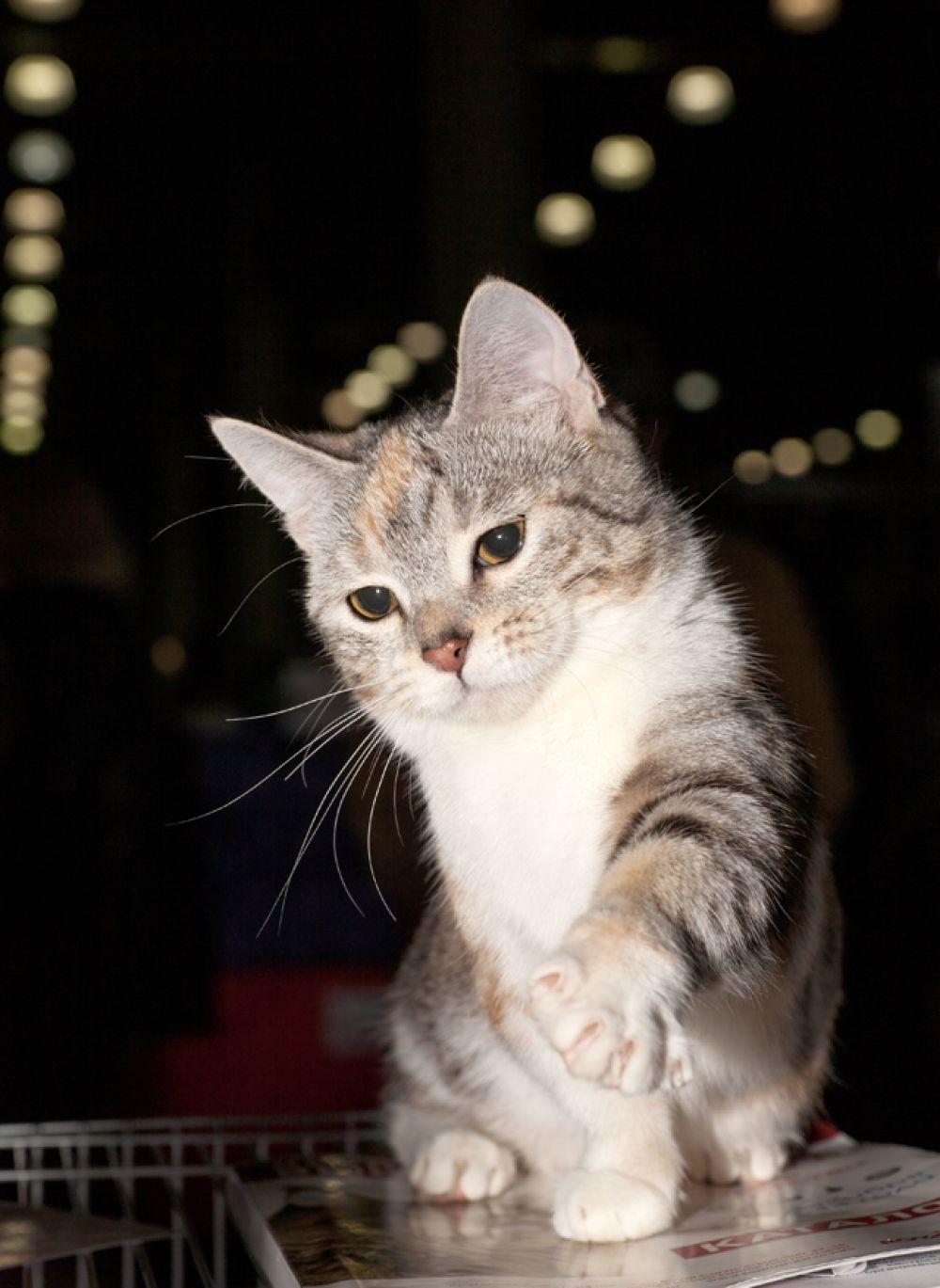 Манчкин. При средней длине тела лапки манчкинов короче, чем у обычных кошек в 2-3 раза, из-за этой особенности их иногда называют таксами.