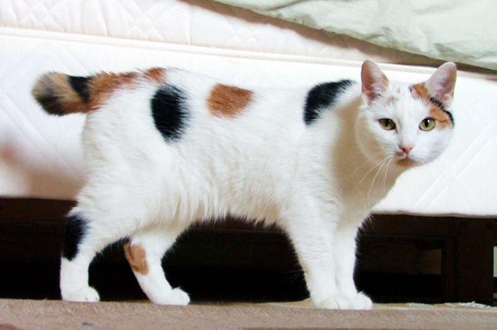 Мэнкс или Мэнская кошка. Отличительной особенностью этих кошек обычно считается отсутствие хвоста, хотя в действительности не все представители этой породы бесхвосты. У хвостатых мэнских кошек длина хвоста может варьироваться от короткого «обрубка» до хвоста практически нормальной длины. Отсутствие хвоста является результатом естественной мутации.