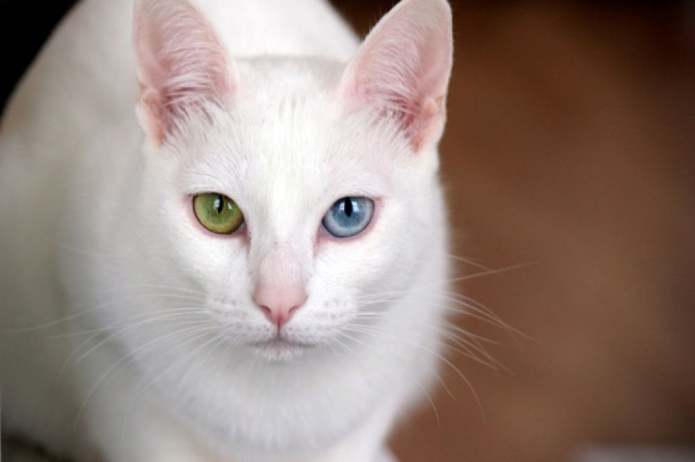 Као-мани. Эта порода кошек родом из Таиланда. Ее название можно перевести как «алмазный глаз» или «белая жемчужина». У кошек этой породы белоснежная шерсть и яркие голубые, янтарные, зелёные или вовсе разноцветные глаза.