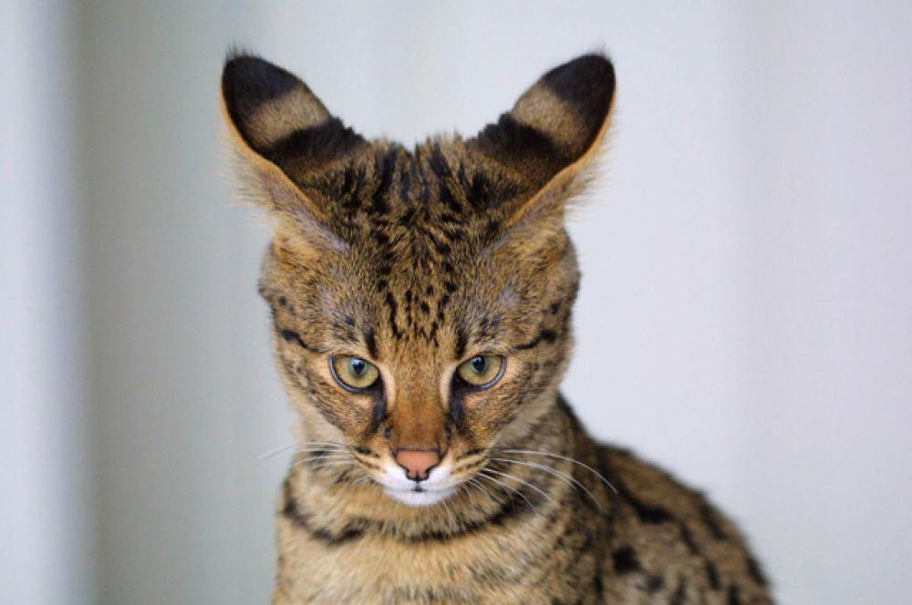 Саванна. Гибрид домашней кошки и африканского сервала. В 2015 году кошки этой породы были признаны самыми дорогими в мире.