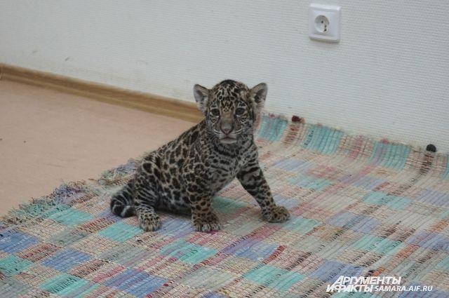ВСамарском зоопарке родился котёнок ягуара