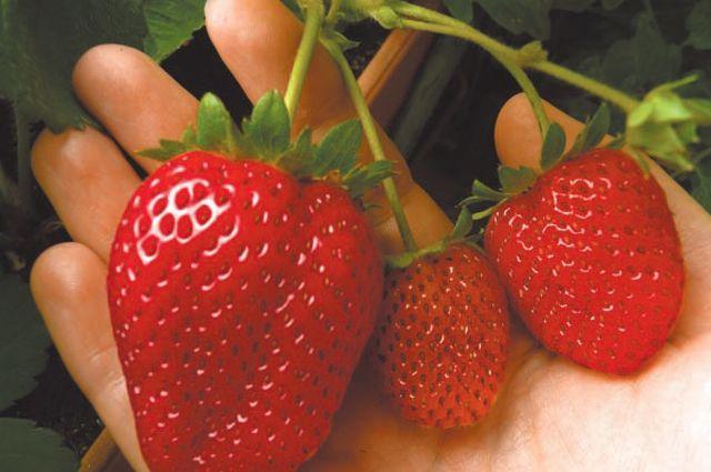 Сорт Альбион. Даже самая крупная ягода (слева) ещё ненабрала вкус, аоранжево‑красные плоды (справа) дойдут только через неделю.