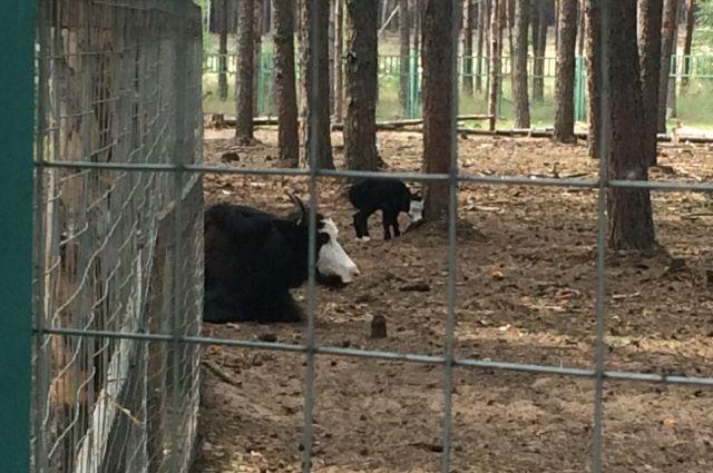 Вворонежском зоопитомнике утибетских яков родился детеныш