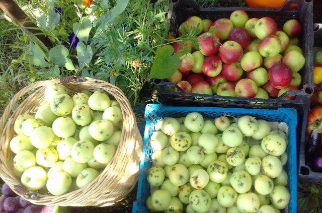 Галина Михальченко из Ставрополя вырастила в этом году отменный урожай слив, груш и яблок!