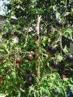 Фото урожая Евгении Кулешовой