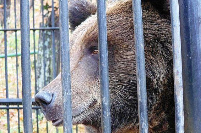 Содержащегося в личном владении медведя перевезут изСима вэкопарк «Зюраткуль» 27