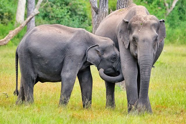 Поезд насмерть сбил четырех слонов вШри-Ланке