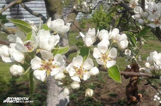 Поляки планируют выращивать яблоки в Калининградской области.